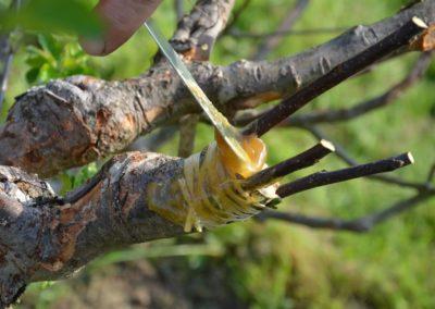 Die Frische Propfung Wird Mit Baumwachs Verschlossen